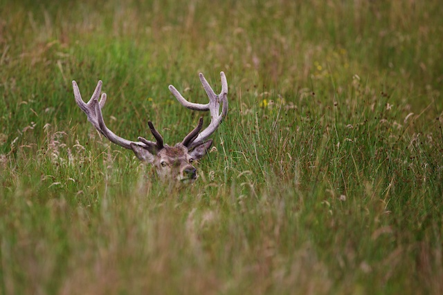 Day 2 was the opportunity for a walk to Inverie and beyond.  As we headed up the glen there was a herd of about 25 red deer just a couple of hundred metres from us.  Seprated from the main herd were a couple of young stags down in fairly long grass.  Not too difficult to get up close to.