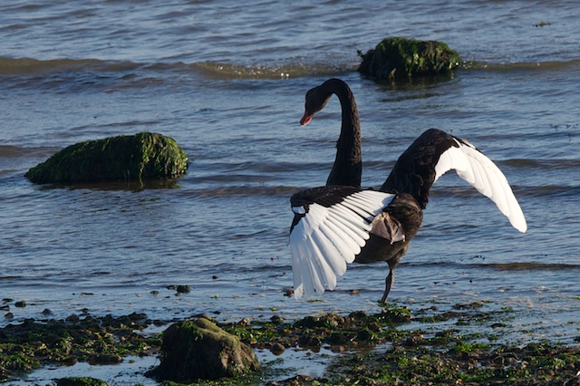 The Black Swan stretches its wings