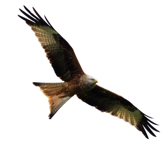 A journey to watch and hopefully photograph the many red kites that are now found in Buckinghamshire turned up an unexpected siting!