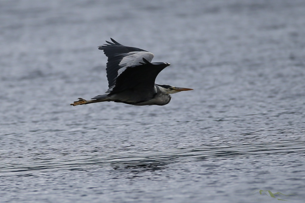 Fly Past - Heron Style