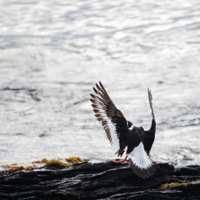 Finished with Engines – Oyster Catchers on the Foreshore and Coming in to Land