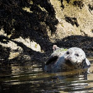 Common Seals & Pups @ Coruisk