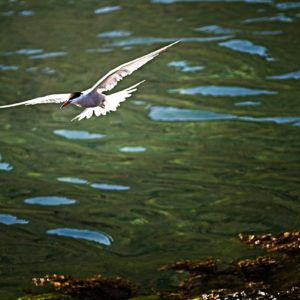 Common Terns @ Loch Na Cuilice