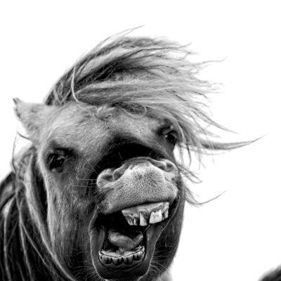 Wild Hair Day for Skipport's Shetland Ponies