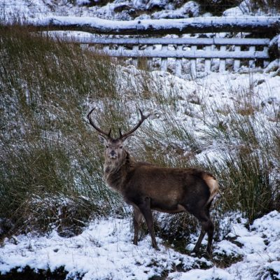 Red Deer Majestic in Light Snow Covering