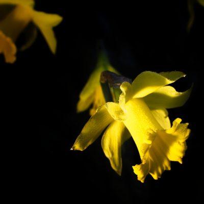 Daffodil Dydd Gŵyl Dewi