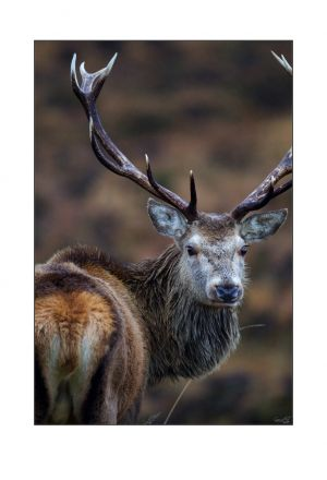 Imperial Applecross Stag 1