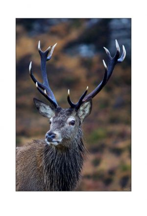 Royal Applecross Stag 1
