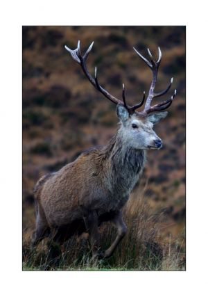 Imperial Applecross Stag 2