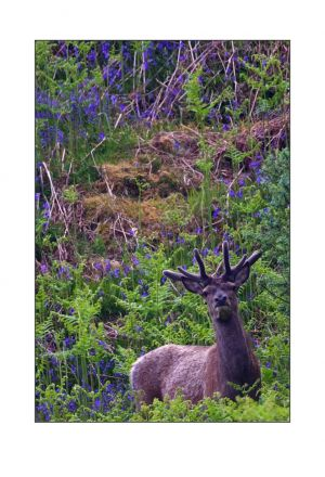 Sleat Bluebell Stag