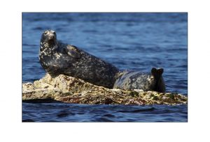 Soay Seals 1