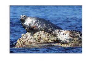 Soay Seals 2
