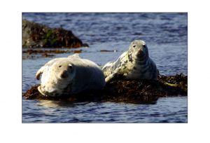 Canna Seals 1