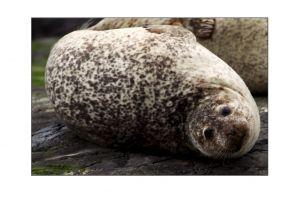 Grey Seals 1