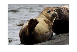 Grey Seals 2