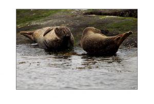 Grey Seals 4