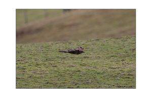 Buzzard Over Farmland 3